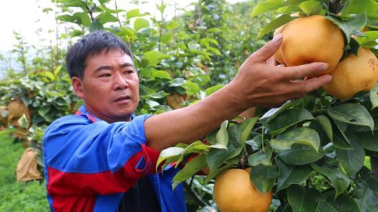白甫河畔:黄梨迎丰收 农户笑开颜