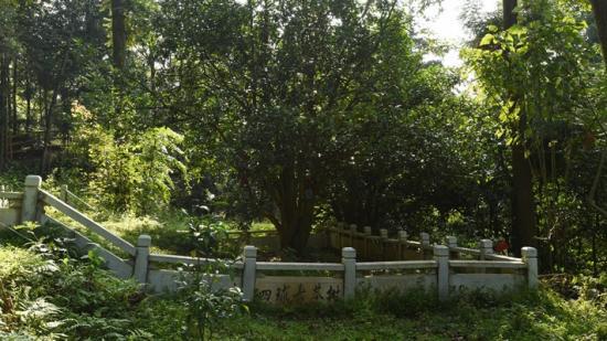 【天眼头条】快来看,上千年的古茶树长这样