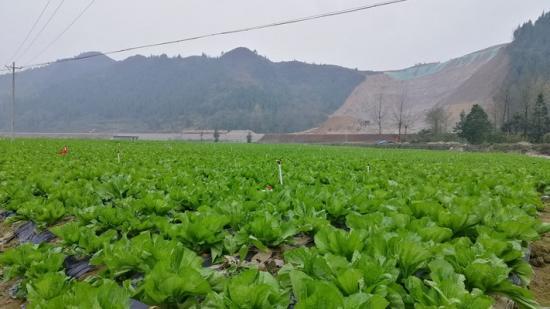 印江木黄镇:千亩蔬菜坝区助农增收