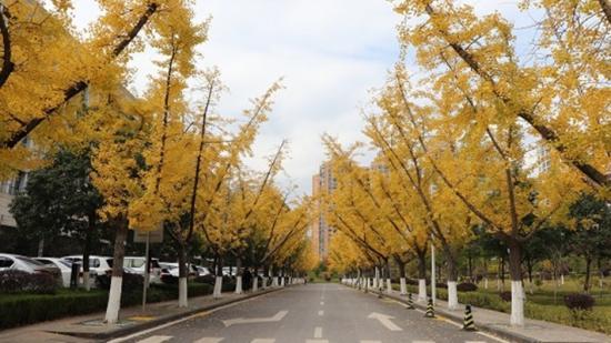 毕节:满城尽带黄金甲