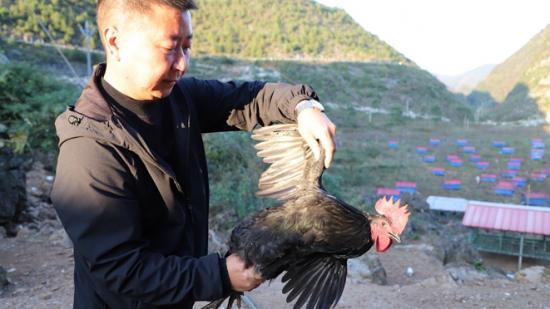 【脱贫攻坚·村村道】安顺红光村:脱贫攻坚生态鸡 带出发展新蓝图