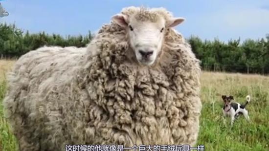 最聪明的绵羊!不想剃毛连续7年出逃,主人剃毛后看懵了