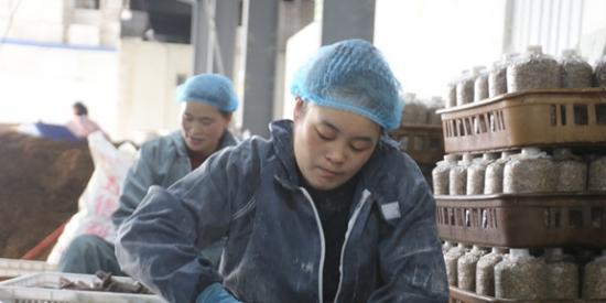 【贵州农村产业革命连连看】贵州乌蒙腾菌业有限公司: 好菌棒育出好天麻