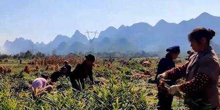 """【贵州农村产业革命连连看】朱凯:小黄姜是脱贫的""""大宝贝"""""""