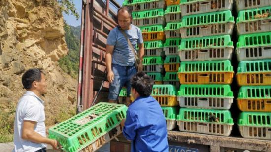 从江县加坡村:养殖林下鸡  拓宽致富路