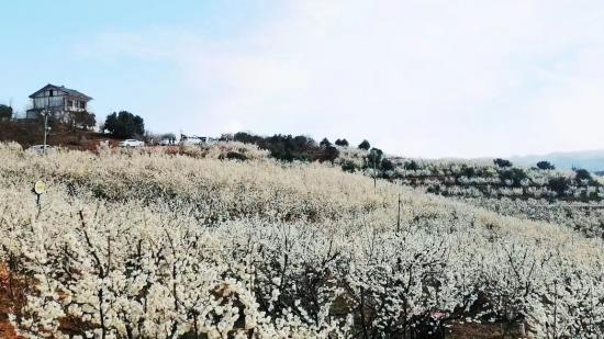 壮观!三万亩樱桃花香雪似海!