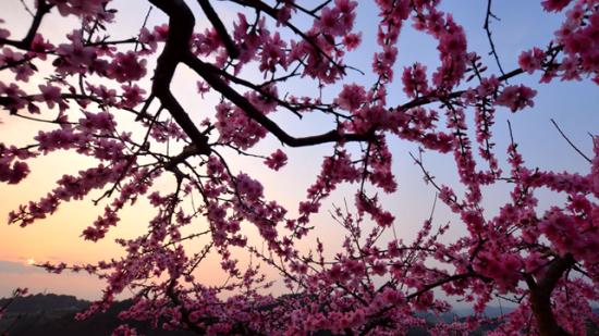 鎮遠:萬畝桃花迎春綻放