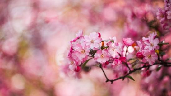 畢節市七星關區:海棠花開春意濃