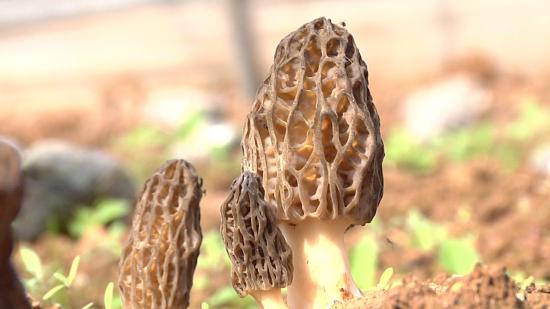 威宁小海:220亩羊肚菌迎来丰收季