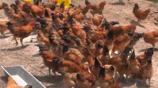 黔东南岑巩县:发展林下养鸡产业 带领群众增收致富