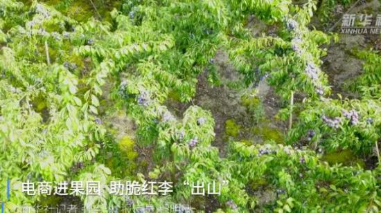 """新华社:英国威廉希尔娱乐余庆县电商进果园 助脆红李""""出山"""""""