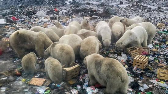 """心酸!冰川消融 饥饿北极熊""""打劫""""垃圾车"""