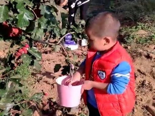 暖心!5岁孙子帮忙摘山楂:怕爷爷辛苦